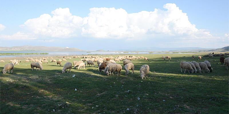 Göl kurudu, koyunlara otlak oldu