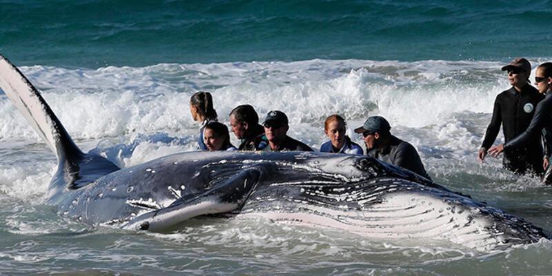 Avustralya'da karaya vuran balina kurtarıldı