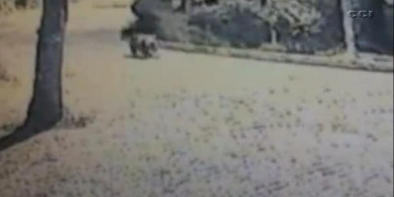 Bursa'da şehre inen iki ayı korkuttu!