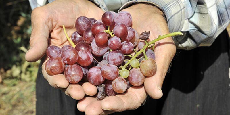 """Türkülere konu olan """"mor üzüm"""" artık yok"""