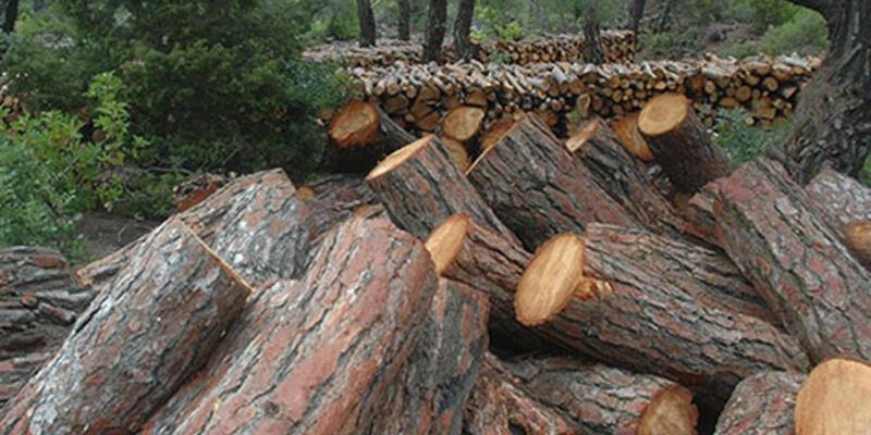 Manisa'da 2 milyon ağaç kesilecek!