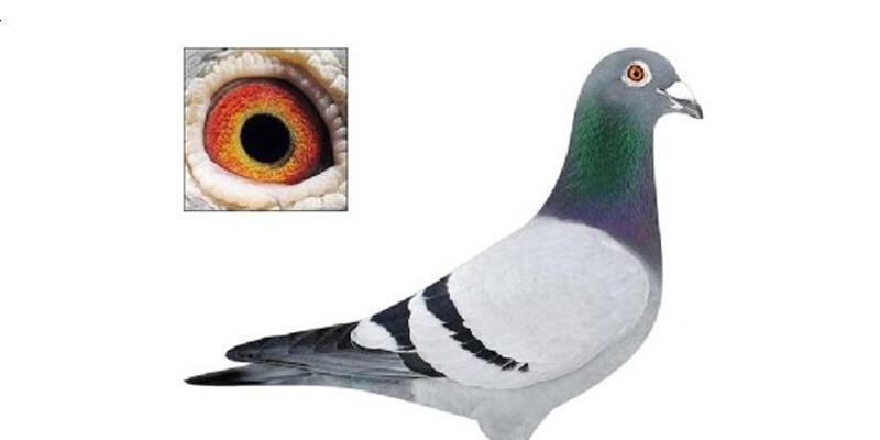 Almanya'da 150 bin euro değerindeki güvercin çalındı
