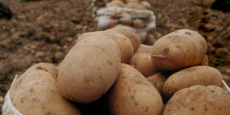 Patatesteki yüksek fiyat üretime yansıyacak