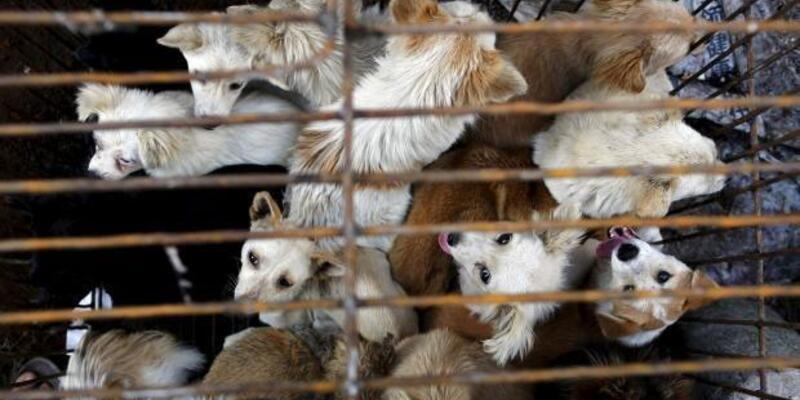 Çin'de 100 köpeği yenilmekten kurtardı