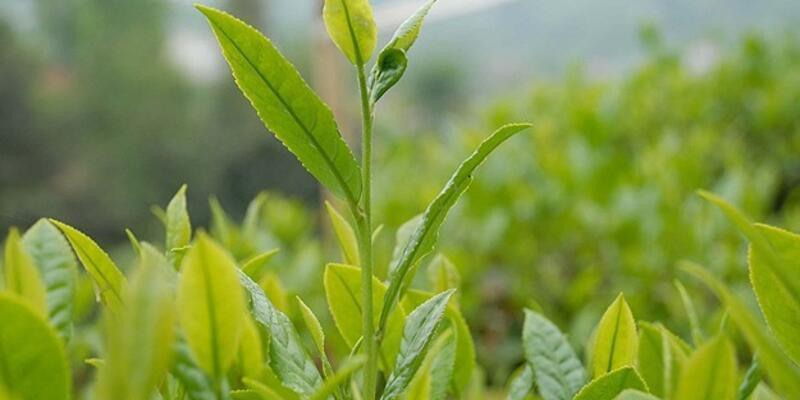 Yaş çay fark ödemesi desteği belirlendi