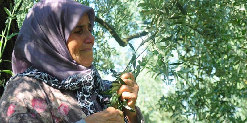 Doğalgaz hattı için kesilecek zeytin ağaçlarına ağladı