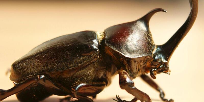 Gergedan böceği yakalayana 39 bin liraya kadar ceza uyarısı