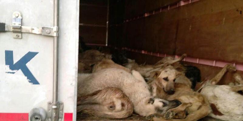 TIR dorsesinde 50 köpek telef oldu