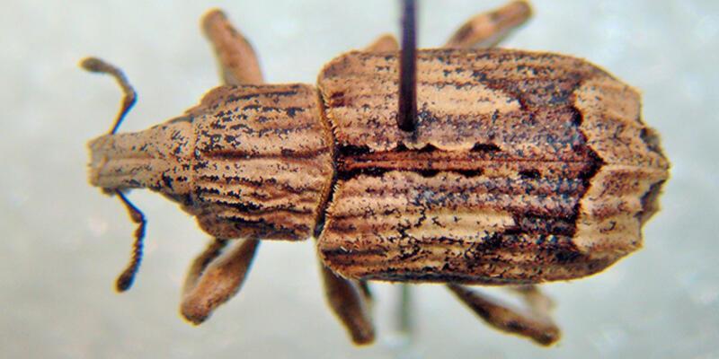 Türkiye'de yeni böcek türü bulundu, Türk ismiyle tescillendi