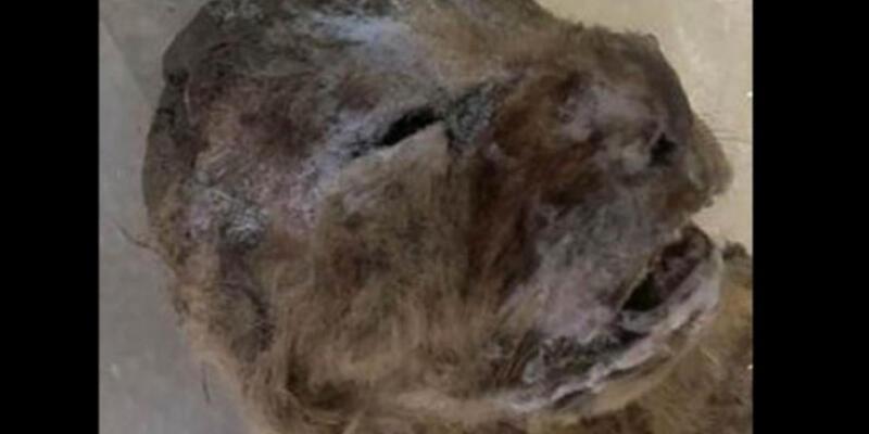 Sibirya'da donmuş mağara aslanı kalıntıları bulundu!