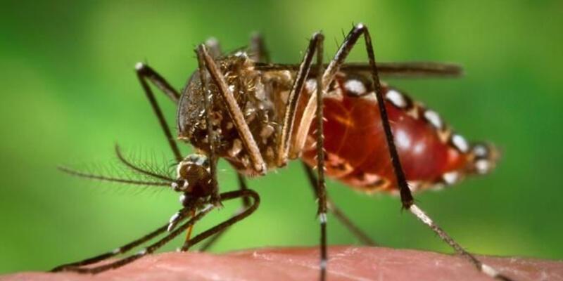 Amerika kıtası Zika virüsü tehdidi altında