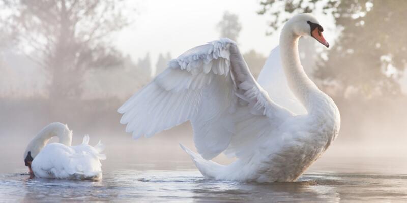 Nesli tehlikede olan ötücü kuğular, Rusya'dan Van Gölü'ne geldi