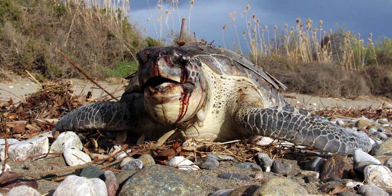 Başı kan içindeki caretta ölüsü, Fethiye'de sahile vurdu