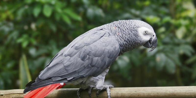 Hayvanat bahçesinde papağan hırsızlığı