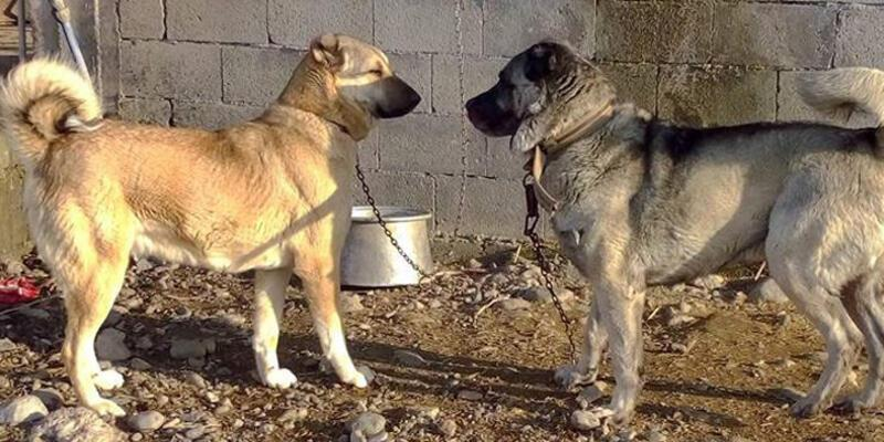 Köpek dövüşü yaptırıp bahis oynatıyorlar