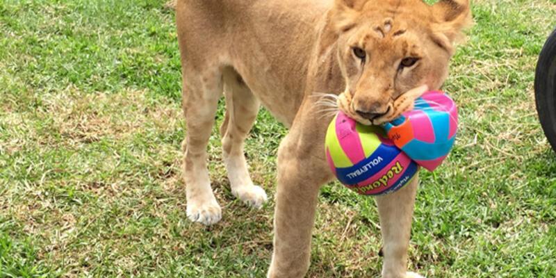 33 sirk aslanı anavatanlarında hayata döndü