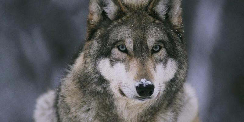 Kırıkkale'de kurtlar ahıra saldırdı