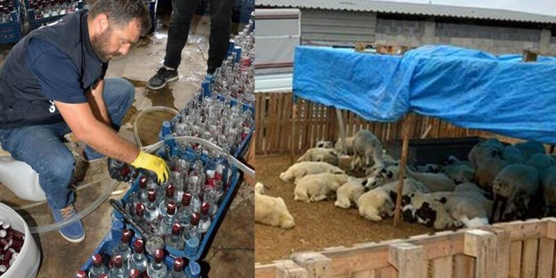 Koyun çiftliğinde seri üretim