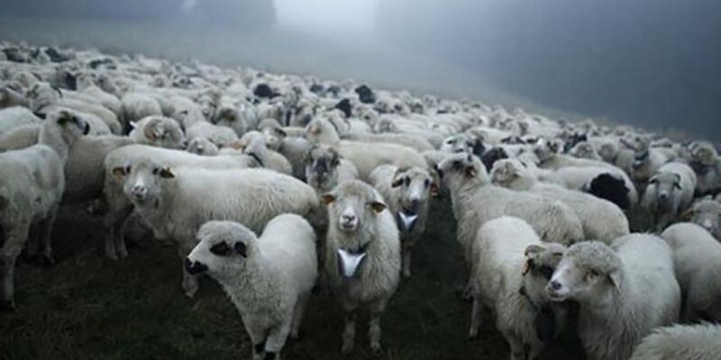 İngiltere'de esrar yiyen koyunlar çıldırdı
