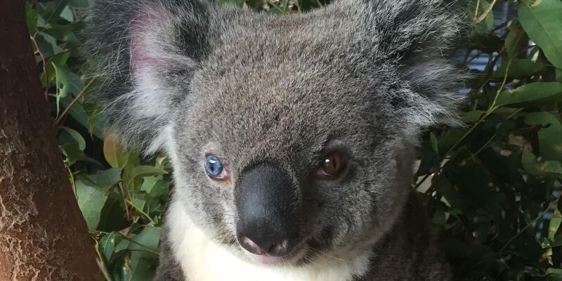 Van kedisi gibi koala bulundu