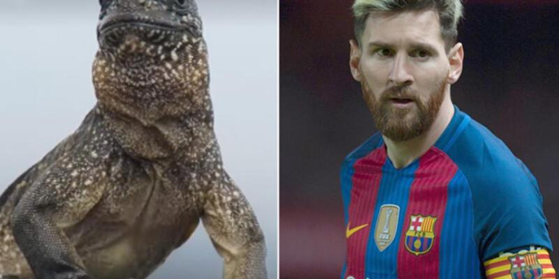 İguanaların Messi'si BBC Planet Earth kameralarına yakalandı