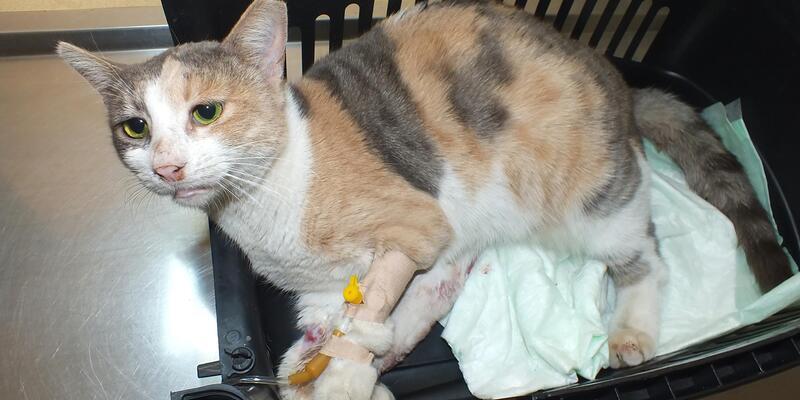 Tecavüze uğrayan kedi kurtarılamadı