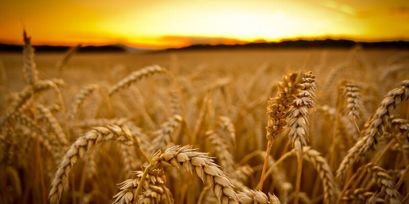Türkiye, Rusya'yı vergisiz buğday ithalatı listesinden çıkardı