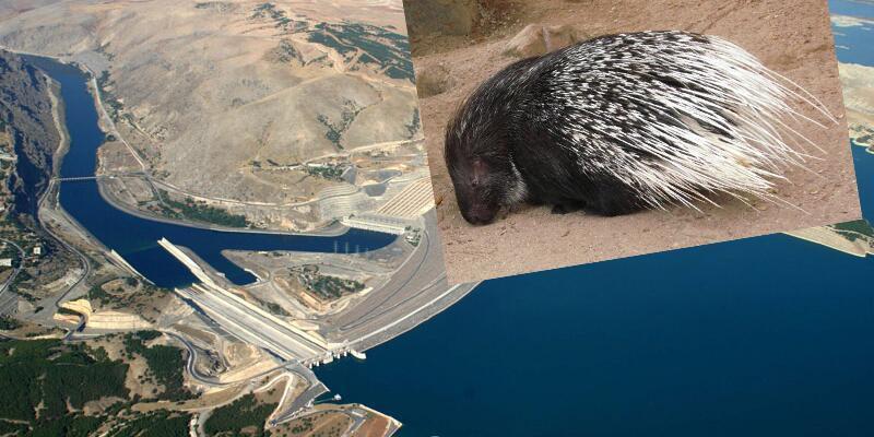 Barajdaki çalışmalar 5 minik kirpi nedeniyle durdu