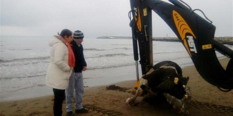 Sahile ölü inek vurdu