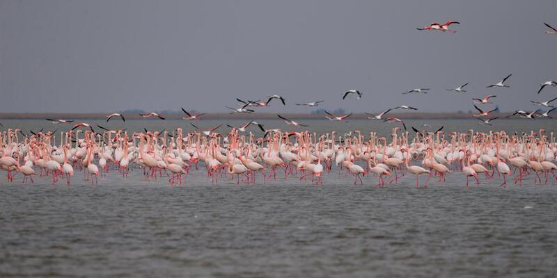 Adana'da su kuşları sayımı yapıldı: 90 bin flamingo