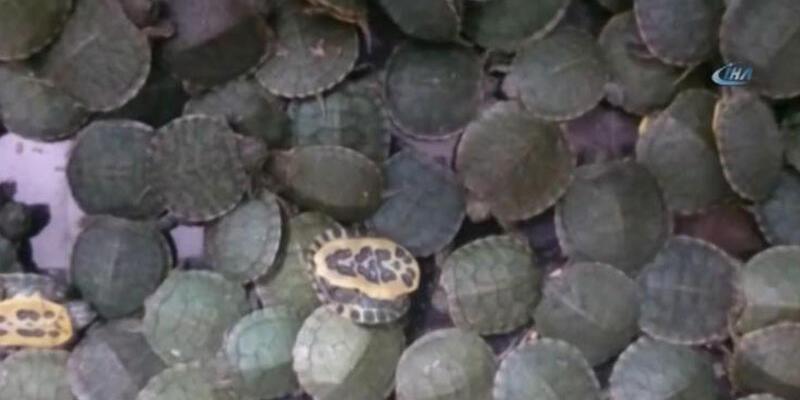 Atatürk Havalimanı'nda 3 valiz dolusu kaplumbağa