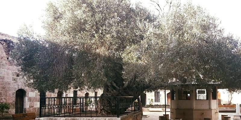 Bin 350 yıldır meyve veren Hünkar Zeytini asırlara meydan okuyor