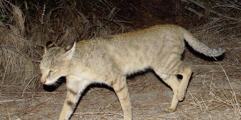 Nesli tükenmekte olan saz kedisi Söke'de öldürüldü