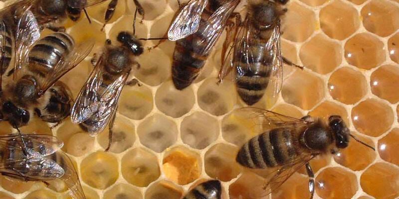 Adıyaman'da ana arı üretilecek