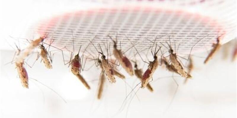 Sıtma dünya genelinde 429 bin can aldı