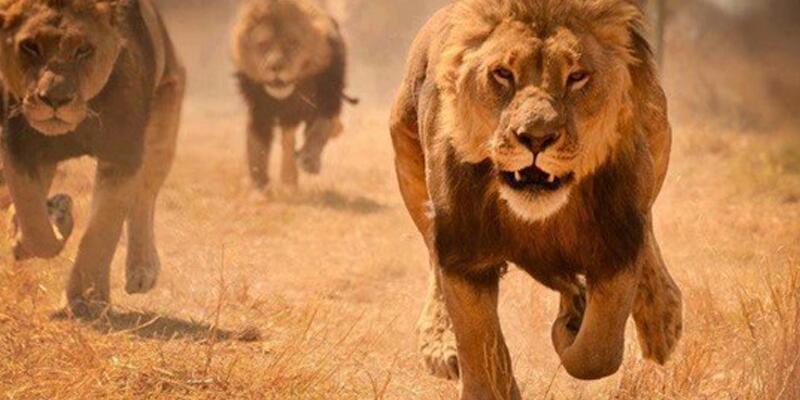 Aslanlar sığır otlatan genci parçaladı