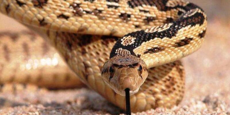 Tarlada yılanın ısırdığı kadın öldü