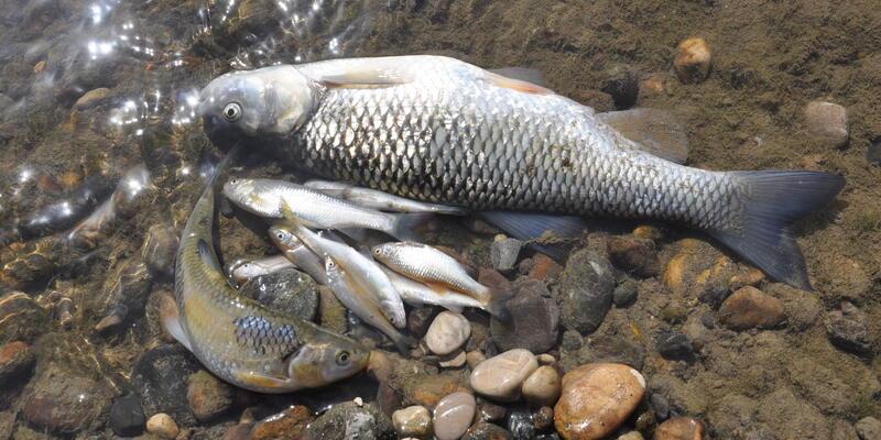 Mudurnu Deresi'nde balık ölümleri