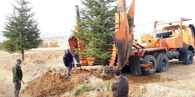4300 ağaç sökülüp taşınıyor
