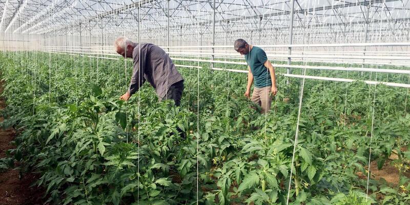 Üniversiteliler, serada domates yetiştiriyor