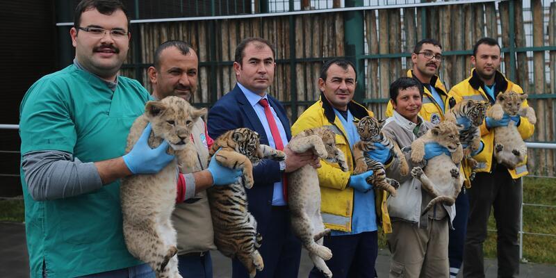 4 aslan ve 3 kapla yavrusu dünyaya geldi