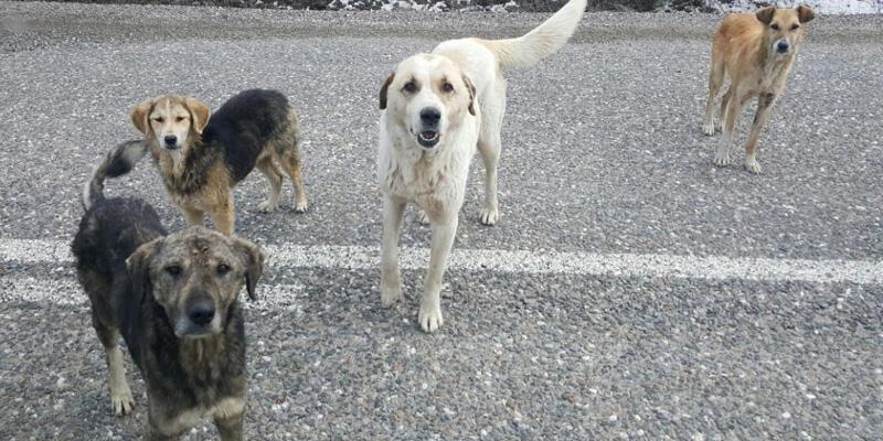Sivas'ta köpek katliamı