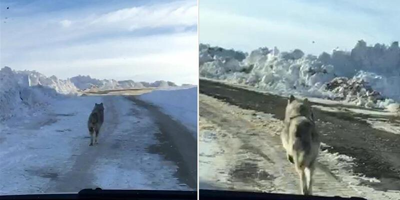 Yola inen kurt böyle görüntülendi