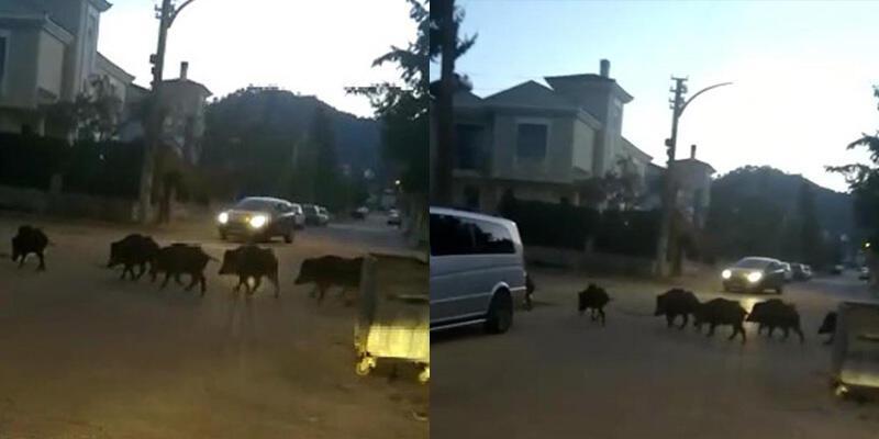 Marmaris merkezine domuz sürüsü indi