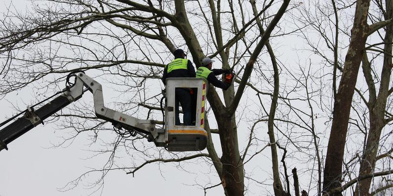 300 yıllık çınar ağacı için projeyi değiştirdiler