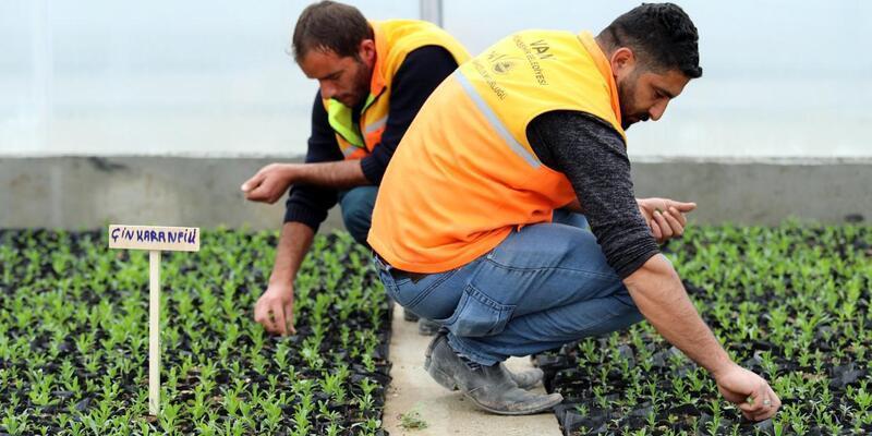 Van'da belediye, doğalgazlı seralarda çiçek yetiştiriyor