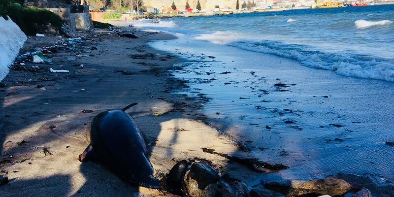 Sinop'ta sahile ölü yunus ve kuşlar vurdu