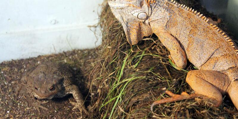 İguana ve kurbağayı aynı kafeste besliyor