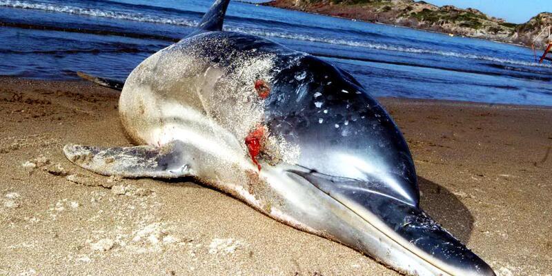 8 kurşunla vurulan yunus, sahilde ölü bulundu