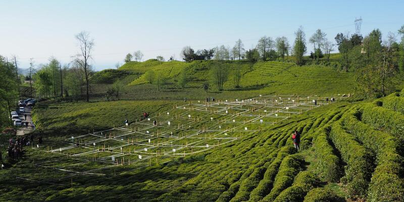 İlk sürgünde 12 bin 261 ton organik çay hasadı yapıldı